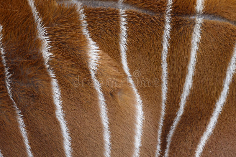 Bongo, Tragelaphus eurycerus, royalty free stock photo