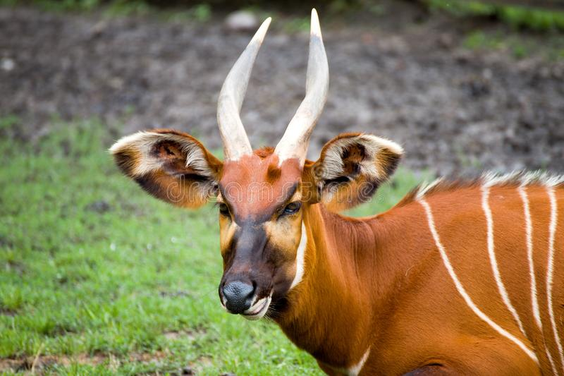 Bongo Tragelaphuseurycerus - den största skogantilopet arkivfoton