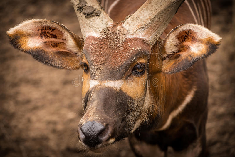 Bongo. Is very funny animal stock photos