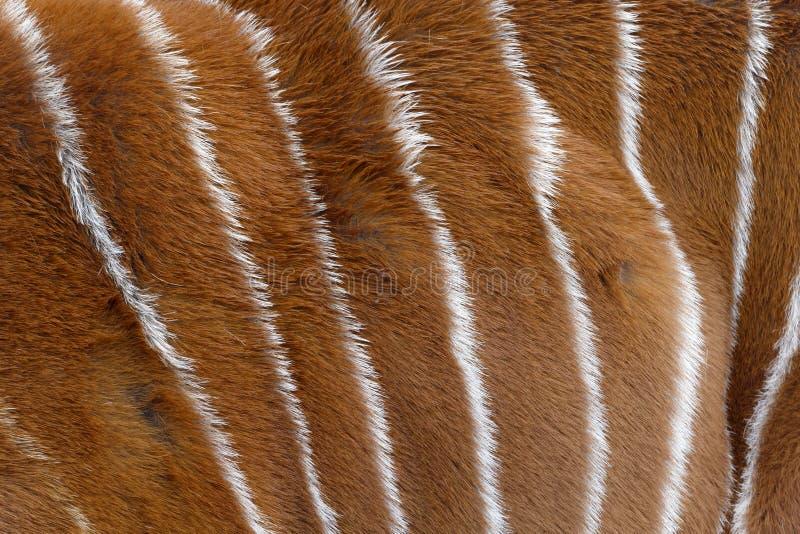 Bongos, eurycerus do Tragelaphus, imagem de stock royalty free