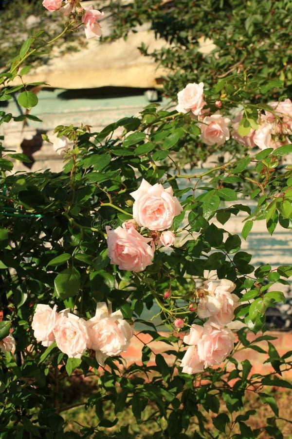 Bonita, rosa, escalar aumentou foto de stock