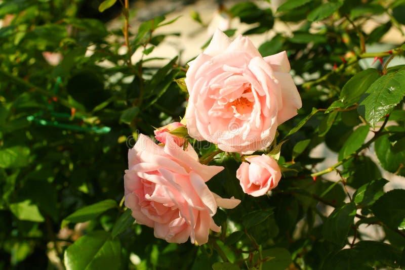 Bonita, rosa, escalar aumentou imagens de stock royalty free