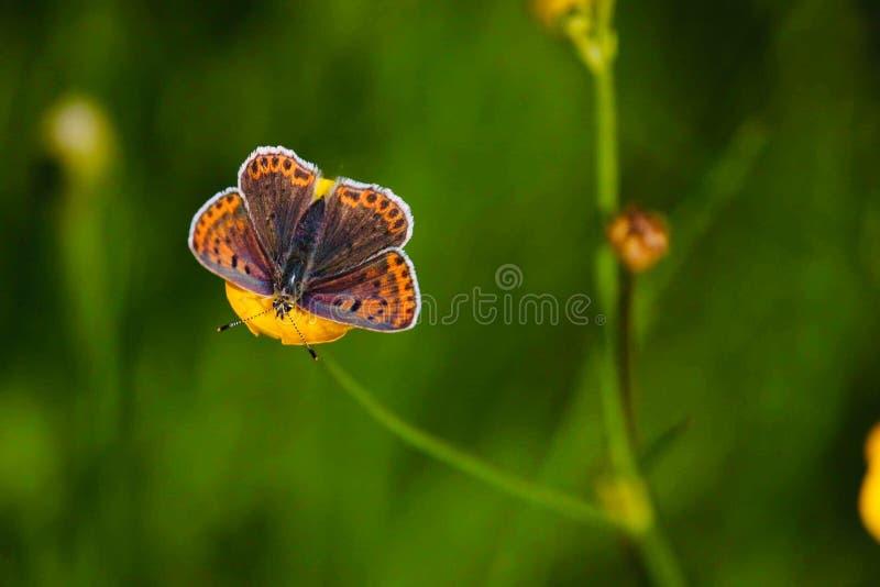 Bonita vista con una mariposa en la flor del yelow imagen de archivo
