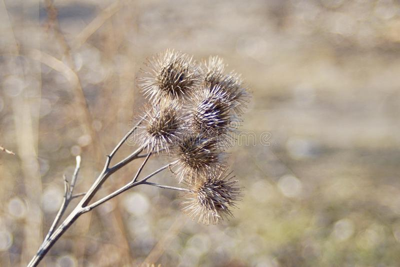 Bonita vista de algunos flores secados de punta del cardo imagenes de archivo