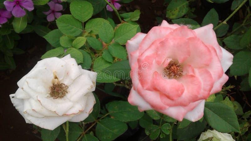 Bonitas flores blancas y rosas para los amantes del mundo imágenes de archivo libres de regalías