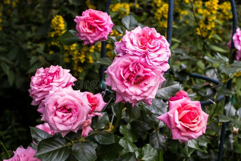 Bonito aloha aumentou o arbusto na flor foto de stock royalty free