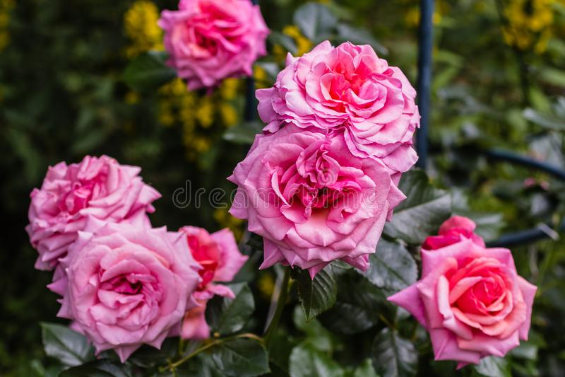 Bonito aloha aumentou o arbusto na flor fotos de stock royalty free