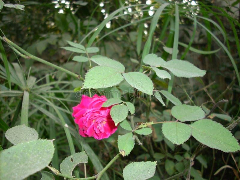 Bonito aumentaram as folhas com rosa do vermelho imagem de stock