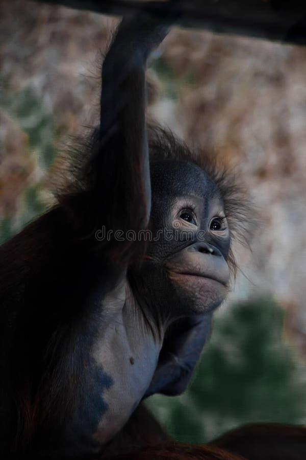Bonito e tocando no orangotango pequeno do bebê foto de stock royalty free