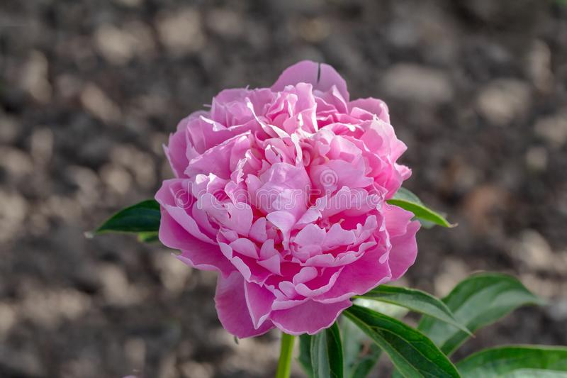 Bonito empalideça - a flor cor-de-rosa da peônia fotos de stock