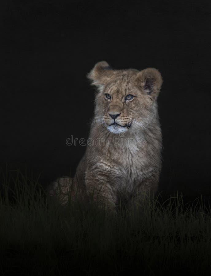 Bonito filhote de leão ao anoitecer fotos de stock
