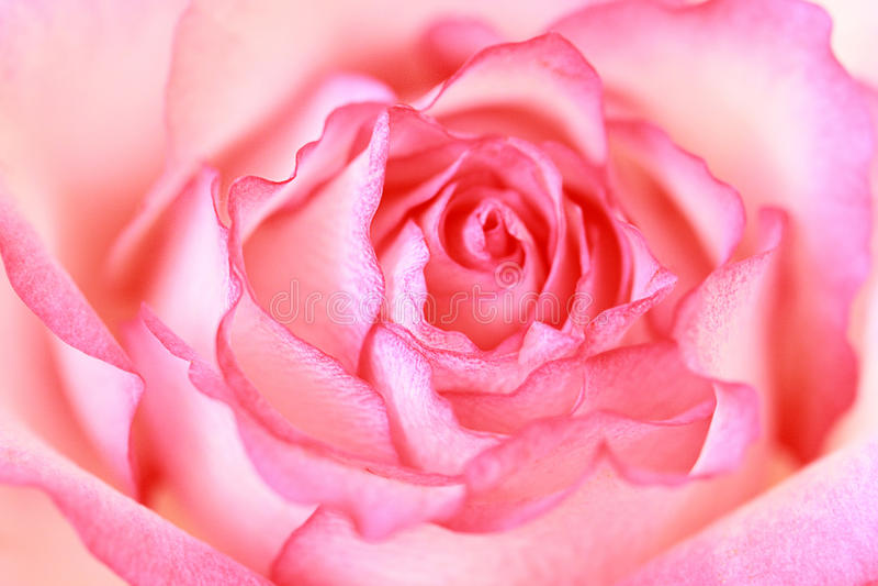 Bonito, fim da rosa do rosa acima imagem de stock royalty free