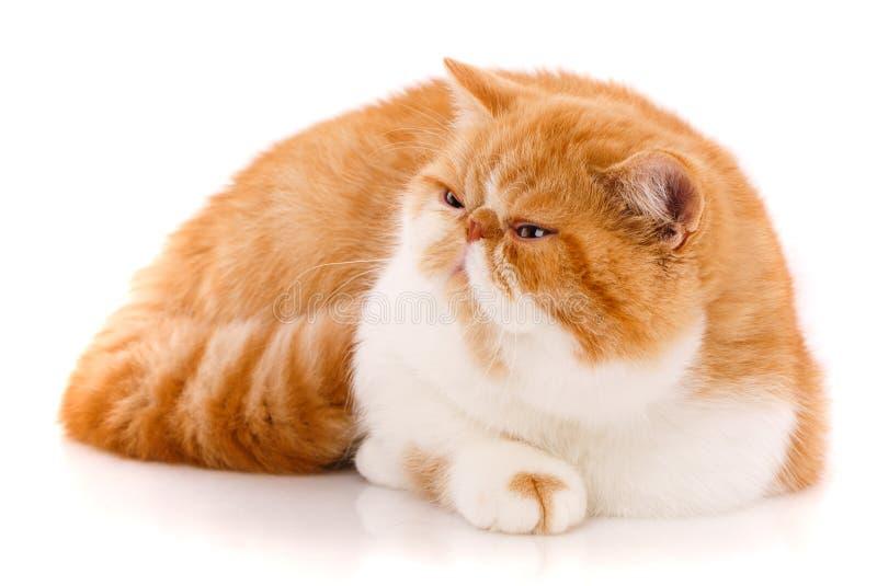 Bonito, gato do puro-sangue Gatinho - retrato do gato exótico imagem de stock royalty free