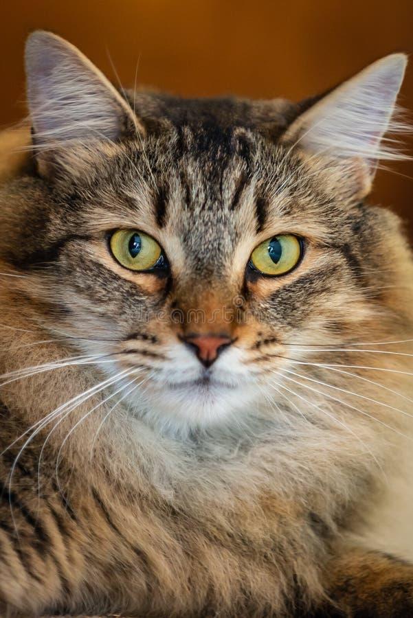 Bonito gato Maine Coon de cabelos longos olhando para frente imagem de stock