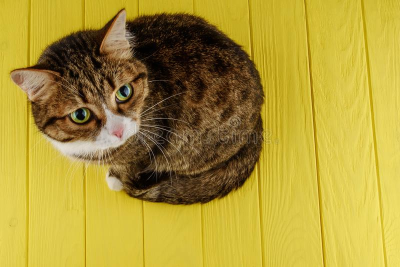 Bonito, gato, multi-colorido em um fundo amarelo colorido gato multi-colorido com olhos bonitos Copie o espaço fotografia de stock royalty free