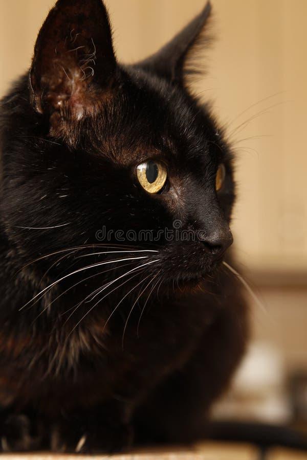 Bonito gato negro sentado en el mostrador de la cocina fotografía de archivo libre de regalías