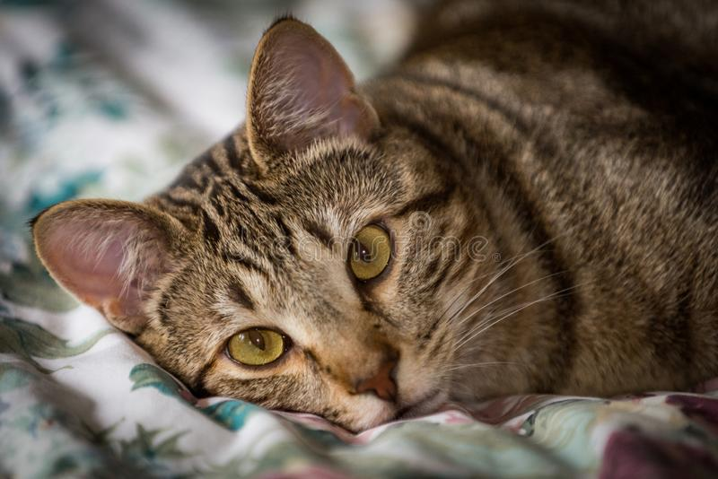 Bonito gato tabby marrón y beige mirando hacia adelante fotografía de archivo libre de regalías