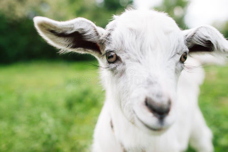 Bonito goatling olhando direito em você o close-up fotos de stock royalty free