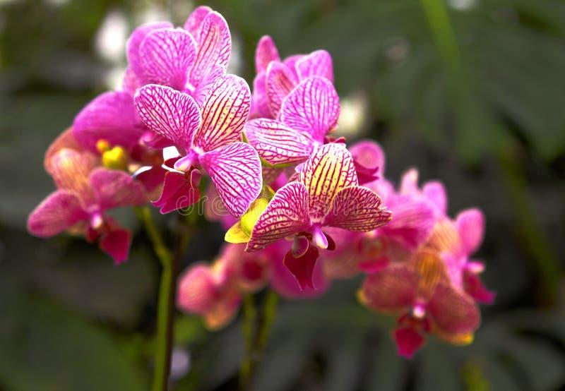 Bonito ilumine - flores roxas da orquídea do Phalaenopsis com natural imagem de stock