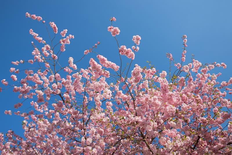 Bonito ilumine - ramos de florescência cor-de-rosa da cereja imagem de stock royalty free
