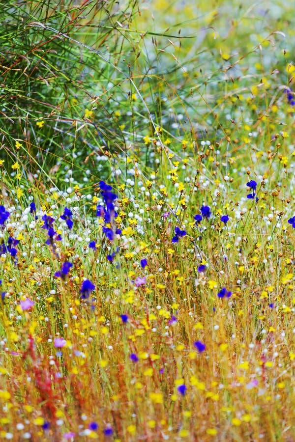 Bonito o Utricularia do campo fotos de stock