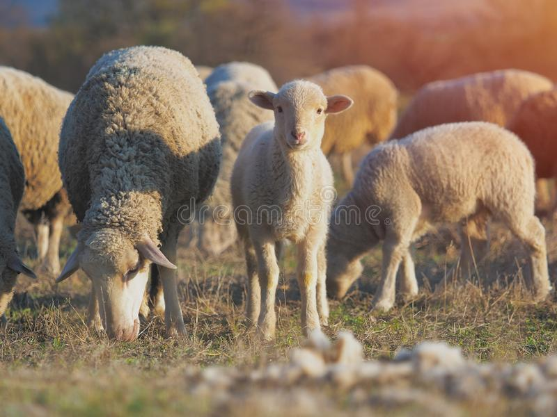 Bonito poucos cordeiros no prado fresco do verde da mola durante o por do sol foto de stock royalty free
