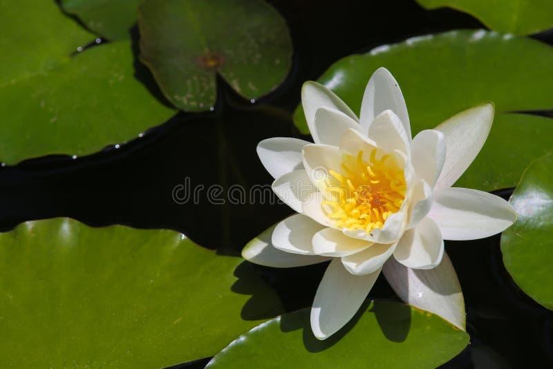 Bonito waterlily imagem de stock royalty free