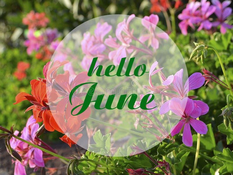 Bonjour carte de accueil de juin avec le lettrage écrit par main sur le fond trouble de géraniums floraux naturels images stock