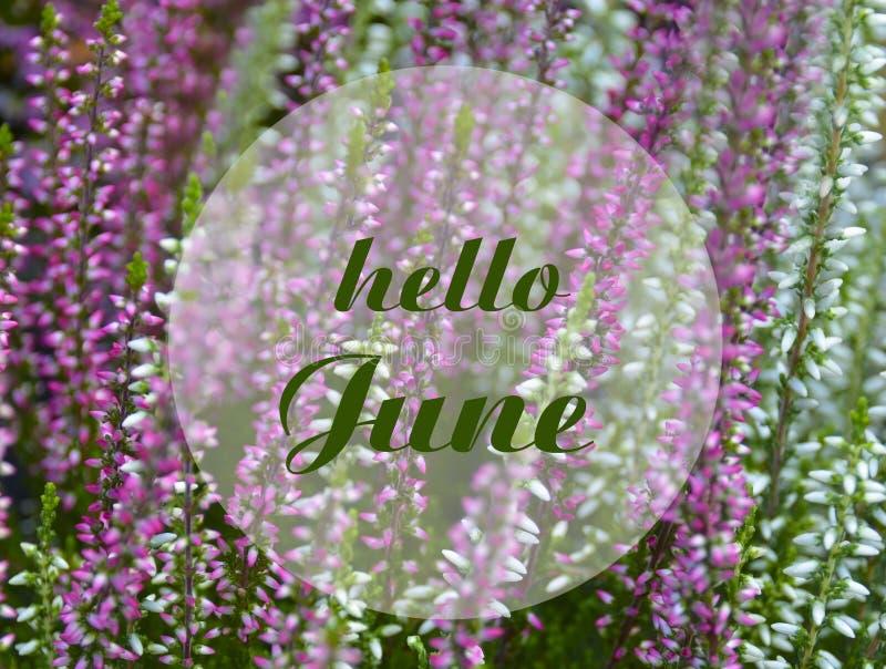 Bonjour carte de voeux de juin avec le texte sur un fond floral naturel de floraison de bruyère de rose et blanche Concept de sai illustration stock