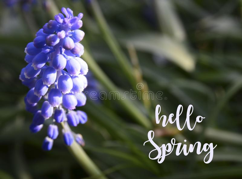 Bonjour carte de voeux de ressort avec la fleur de jacinthe de raisin ou d'armeniacum de Muscari dans le jardin Concept de printe photo libre de droits