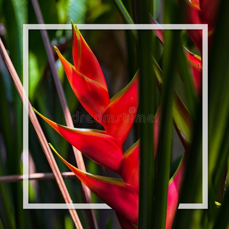 Bonjour concept de fond d'?t? Belle fleur des Caraïbe Heliconia populairement connue également sous le nom de homard-griffe, plan images stock