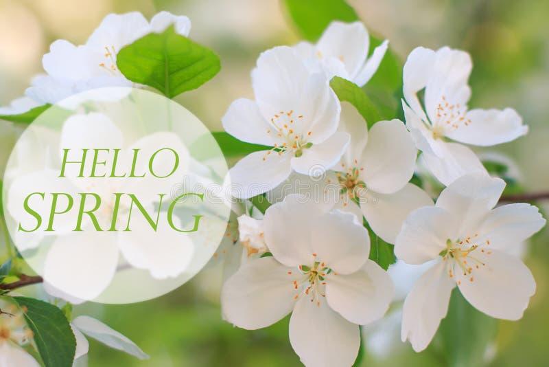 Bonjour fond de ressort, pommier de floraison photos libres de droits