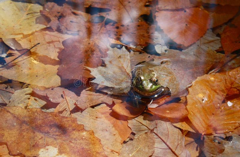 Bonjour grenouille photographie stock