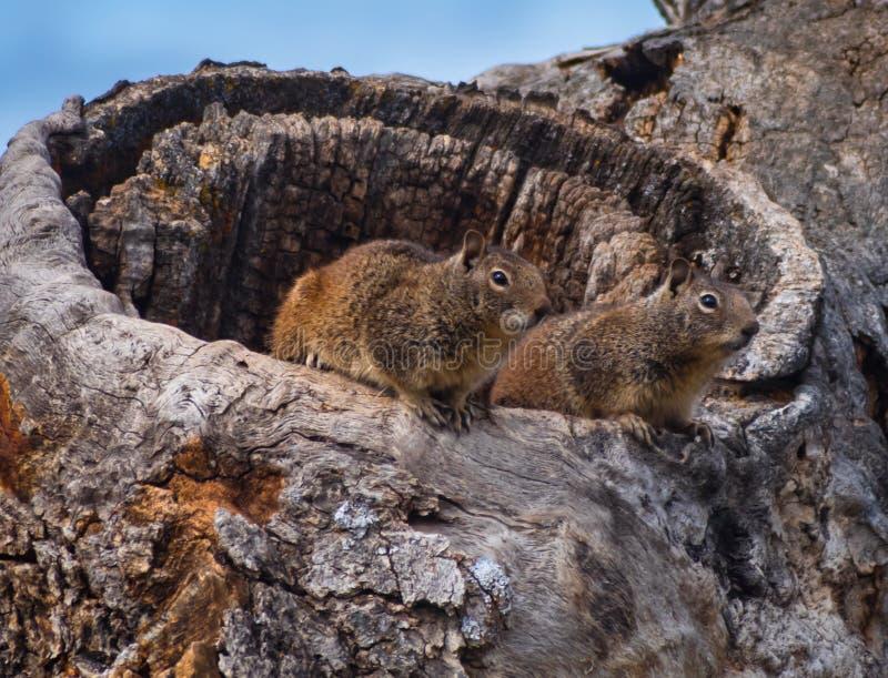 Bonjour là - une paire d'écureuils moulus salue des visiteurs à leur voisinage image libre de droits