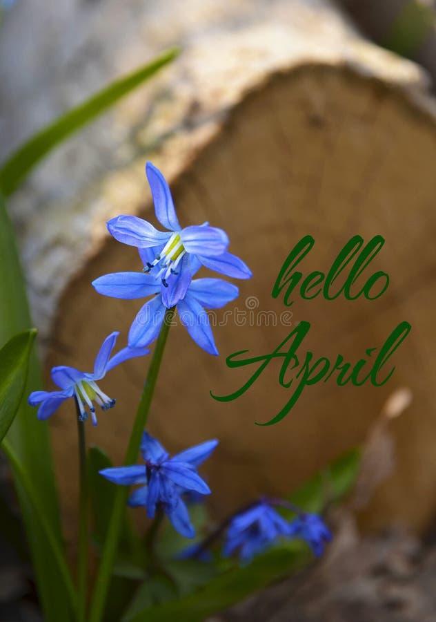 Bonjour la carte d'avril avec Scilla bleu fleurit dans des perce-neige d'un forestBlue de ressort photographie stock