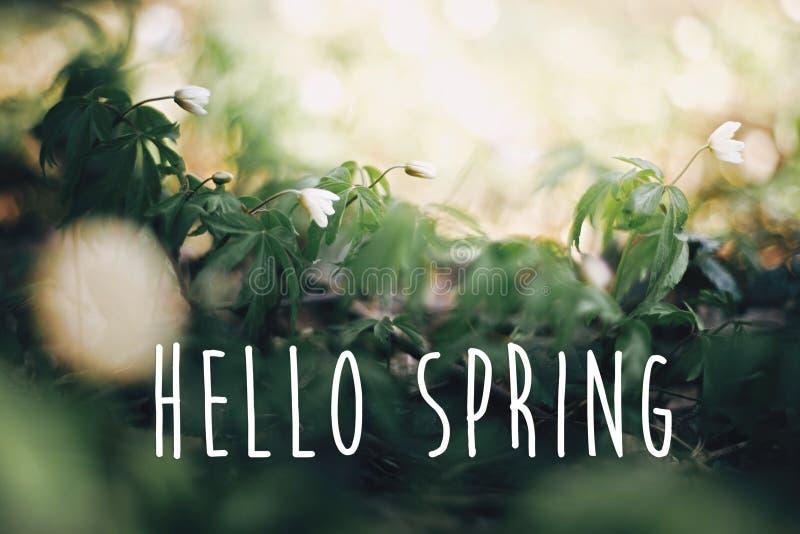 Bonjour le texte de ressort, se connectent des fleurs d'anémones en bois ensoleillés de ressort Premières fleurs blanches fraîche images libres de droits