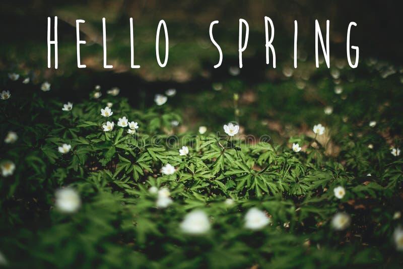Bonjour le texte de ressort, se connectent des fleurs d'anémones en bois ensoleillés de ressort Premières fleurs blanches fraîche images stock