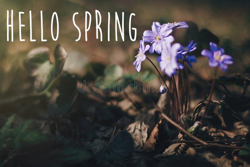 Bonjour le texte de ressort, se connectent le hepatica pourpre de fleurs en bois ensoleillés de ressort Premières fleurs blanches photographie stock libre de droits