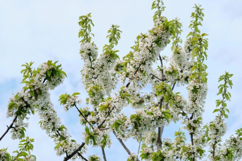 Bonjour ressort, arbre, branche des fleurs de cerisier blanches, fond de ciel bleu photo stock