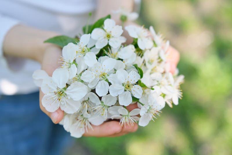 Bonjour ressort, avril Cerise blanche de floraison dans des mains de la fille, en gros plan, extérieure photo libre de droits