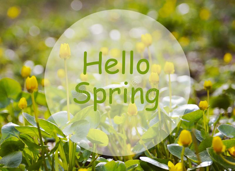 Bonjour ressort Champ des premières fleurs jaunes de ressort Concept de printemps image stock