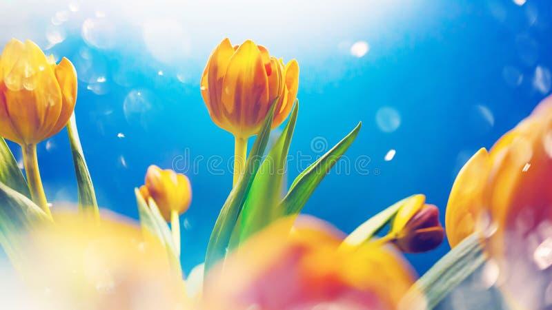 Bonjour ressort ou concept d'?t? Tulipes oranges lumineuses dans des baisses brillantes du soleil et de ros?e image stock