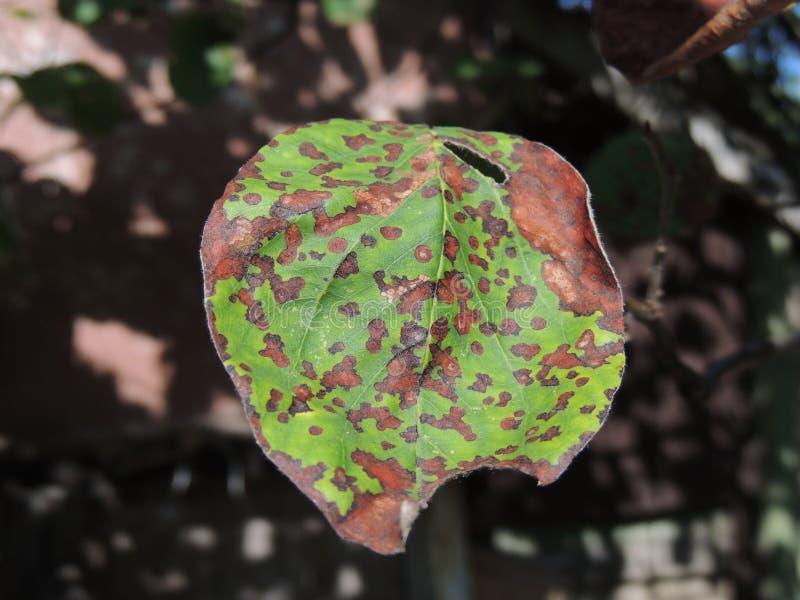 Bonkreta liście atakujący grzybem i insektami zdjęcie stock