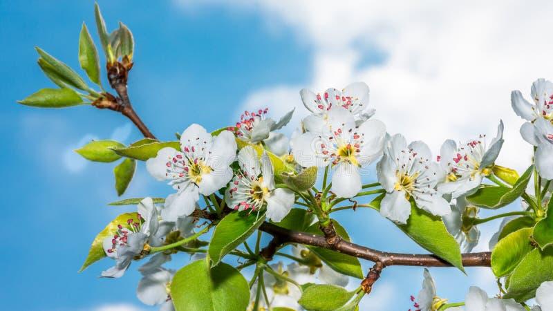 Bonkrety drzewa kwiat na niebieskim niebie zdjęcia royalty free