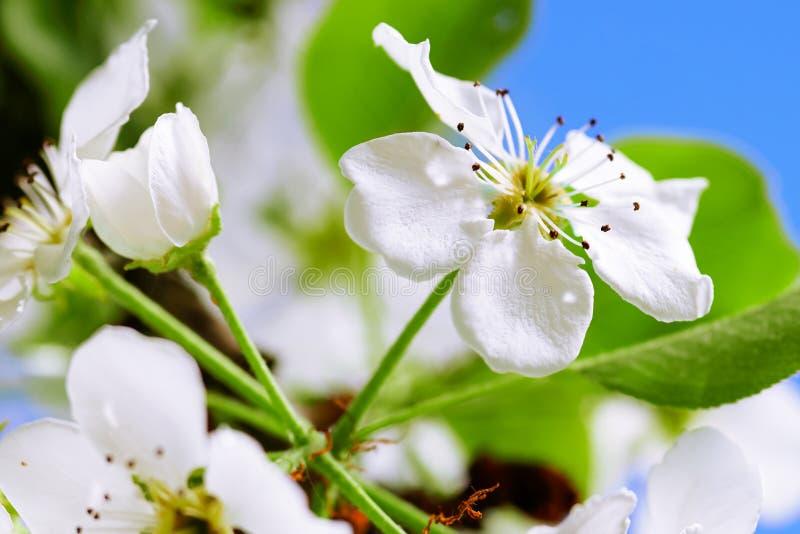 Bonkrety drzewa kwiaty zamykają w górę backlit wiosna ranku światłem słonecznym na niebieskiego nieba tle obraz royalty free