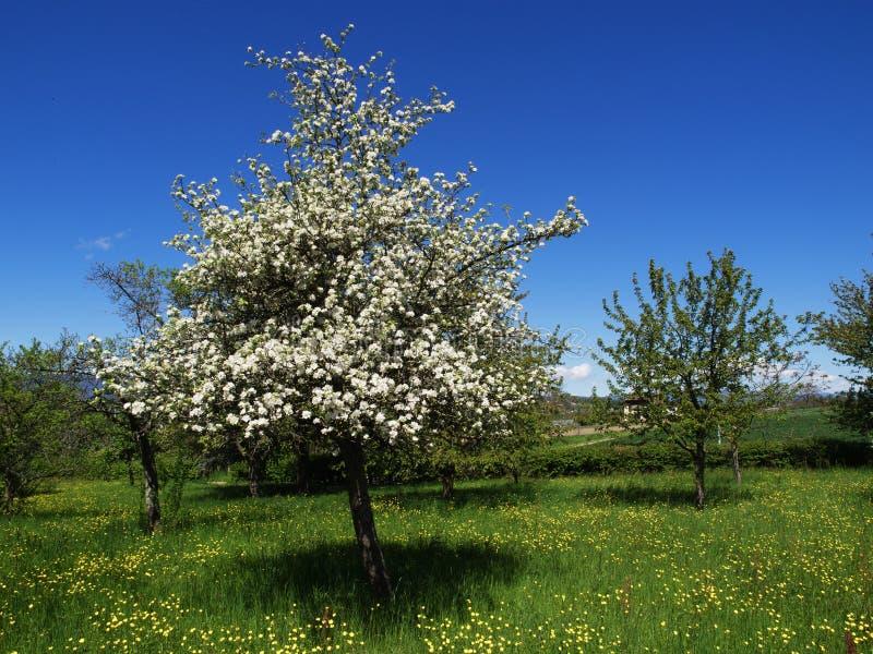 Bonkrety drzewo Z niebieskim niebem w Owocowym sadzie obraz stock