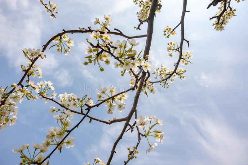 Bonkrety okwitnięcia drzewo kwitnie przeciw niebieskiemu niebu w Chengdu obrazy royalty free