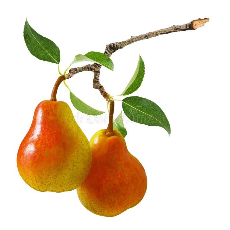 Bonkrety owoc odizolowywaj?ca Dwa bonkrety dojrzała czerwona żółta owoc na gałąź z zieleń liśćmi odizolowywającymi na białym tle fotografia stock