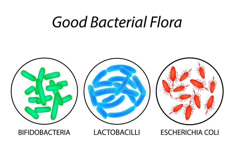 Bonne flore bactérienne Lactobacilles, bifidobacteria, Escherichia coli Infographie Illustration de vecteur illustration de vecteur
