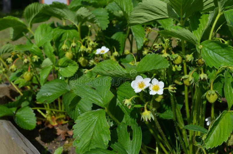 Bonne variété de fraises fleurissantes abondantes photographie stock libre de droits